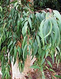 ユーカリの木(一例)